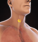 Human Thyroid Gland Anatomy Royalty Free Stock Images