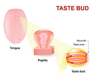 Human tongue, Lingual papillae and taste bud Royalty Free Stock Images