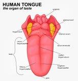 Human tongue structure cartoon Stock Image