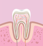 Human tooth. Model of human tooth. vector illustration Royalty Free Stock Photography