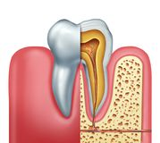Human Tooth Anatomy Concept. Human tooth anatomy dentistry medical concept as a cross section of a molar with nerves and root canal symbol as a 3D illustration Stock Photo
