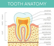 Human tooth anatomy Royalty Free Stock Photo