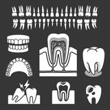 Human tooth anatomy. Stock Photography