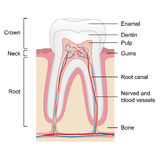 Human tooth anatomy  on white background,  Stock Photography