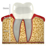 Human tooth cross-section (3d model) Royalty Free Stock Photography