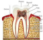 Human tooth cross-section (3d model) Royalty Free Stock Images