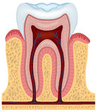 Human tooth. Cross section - vector illustration Stock Images