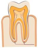 Human tooth Royalty Free Stock Photos
