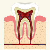 Human tooth and gum anatomy Stock Images