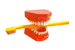 Human tooth jaw with toothbrush. Isolated over white Royalty Free Stock Images