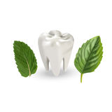 Human tooth with leaves. Vector illustration of realistic chewing tooth and mint leaves Royalty Free Stock Photography
