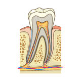 Human tooth structure medical vector Stock Photography
