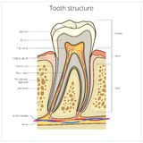 Human tooth structure medical vector Royalty Free Stock Images