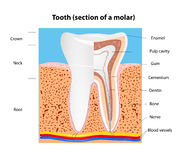 Human Tooth structure. Vector Royalty Free Stock Images