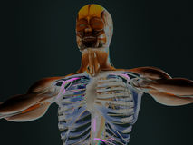 Human torso showing muscles and arteries Royalty Free Stock Image
