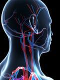 Human vascular system Royalty Free Stock Photos