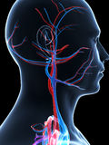 Human vascular system Royalty Free Stock Photos