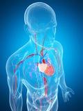 Human vascular system Royalty Free Stock Image