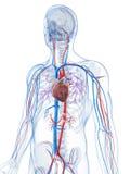Human vascular system vector illustration