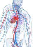 Human vascular system Royalty Free Stock Image