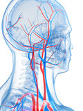 Human vascular system Stock Photos