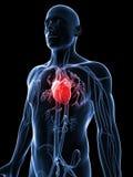 Human vascular system. 3d rendered illustration of the human vascular system Stock Photo