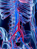 The human vascular system. The abdomen Royalty Free Stock Photo