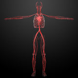 Human vascular system Royalty Free Stock Photo