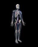 Human vascular system Royalty Free Stock Photo