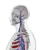 Human vascular system. 3d rendered illustration - vascular system Royalty Free Stock Photos