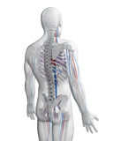 Human vascular system Stock Image