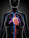 Human vascular system Royalty Free Stock Photography