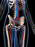 Human vascular system Stock Photography