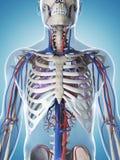 Human vascular system Stock Image