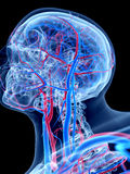 The human vascular system. The head Royalty Free Stock Photos