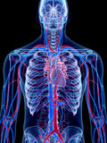 The human vascular system. The heart Royalty Free Stock Photography