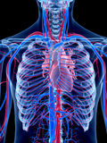 The human vascular system. The heart Stock Photography