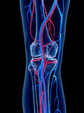The human vascular system Stock Image