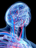 The human vascular system Stock Images