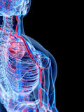 The human vascular system. The shoulder Stock Photos