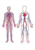 Human vein in vector illustration