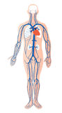 Human venous system  Stock Photography