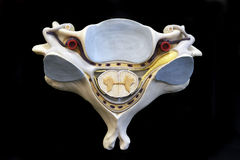 Human Vertebra. L bone with spinal cord Royalty Free Stock Photography