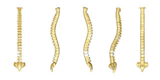 Human vertebral column Stock Photos