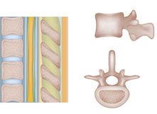Human vertebral column Stock Photos