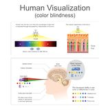 Human Visualization Color blindness. Human can see the color from wavelength of light Royalty Free Stock Photos