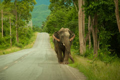 Human and wildlife conflict on the road Royalty Free Stock Photography