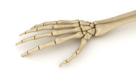 Human wrist skeletal anatomy Royalty Free Stock Image
