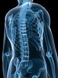 Human x-ray skeleton Stock Photo