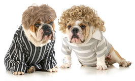 Humanized dogs. Two english bulldogs wearing wigs and dressed in clothing isolated on white background royalty free stock photo